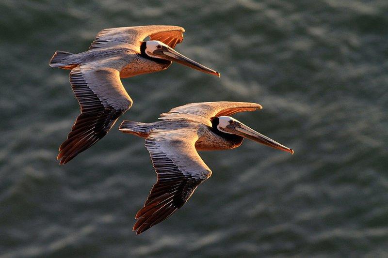Brown Pelican_knufken