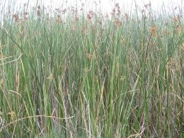 California bulrush