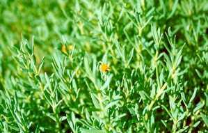 Fleshy jaumea or Marsh jaumea