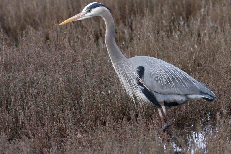 Great Blue Heron_knufken
