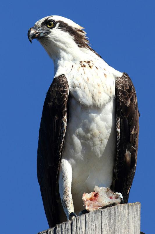 Osprey_knufken