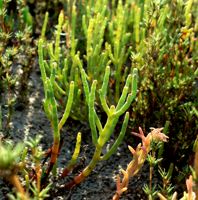 Pacific pickleweed