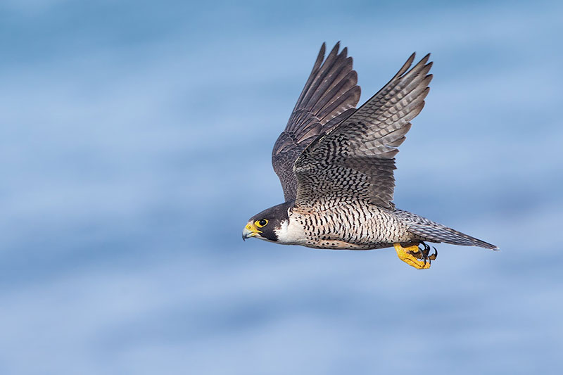 Peregrine-Falcon_Sharp