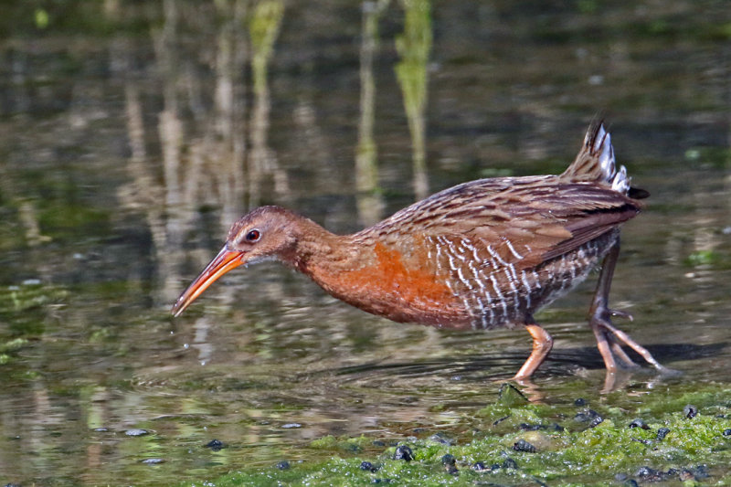 Ridgway's rail foraging. Photo by Walt Knufken