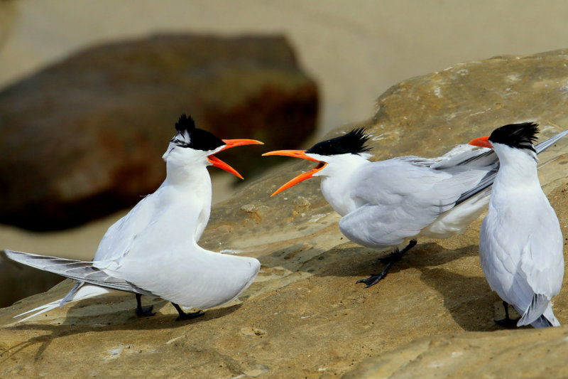 Royal Terns_knufken
