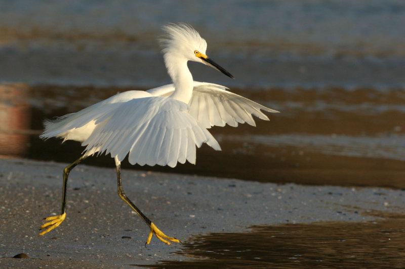 Snowy Egret_knufken