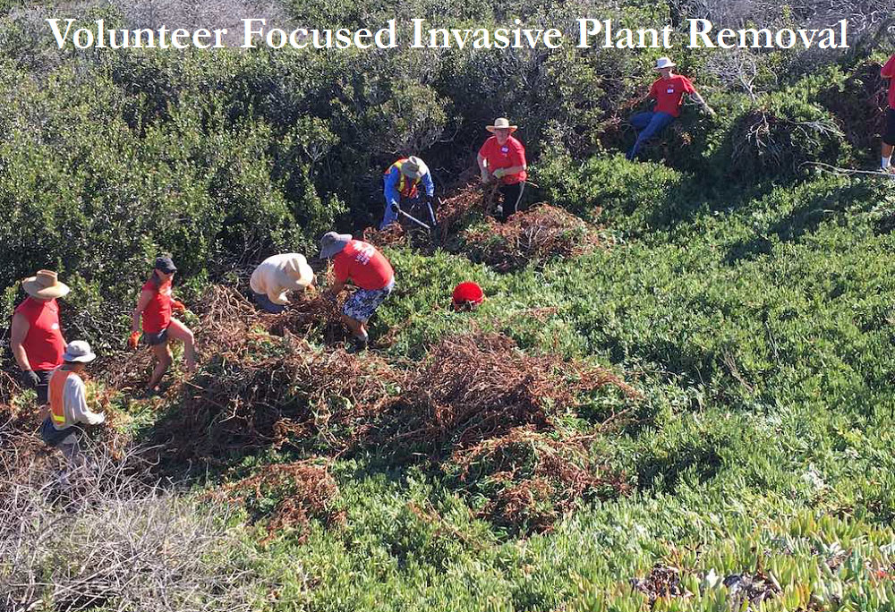 Volunteers helping remove non-native plants and habitat in Los Peñasquitos Lagoon.  Photos by State Parks.