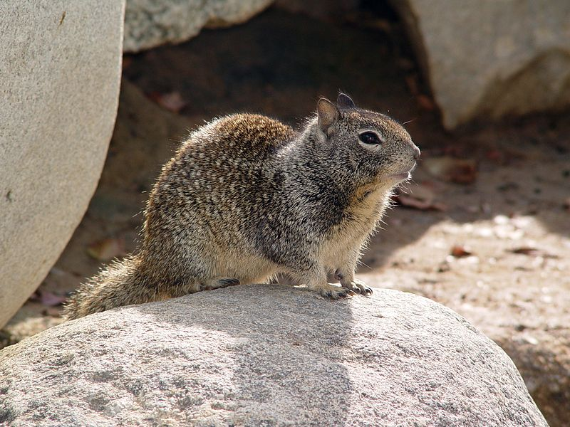 800px-CA_Ground_Squirrel_on_rock