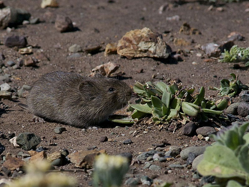 800px-California_Vole_(Microtus_californicus)