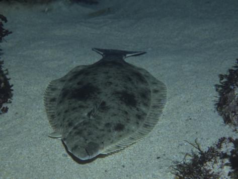 CA halibut