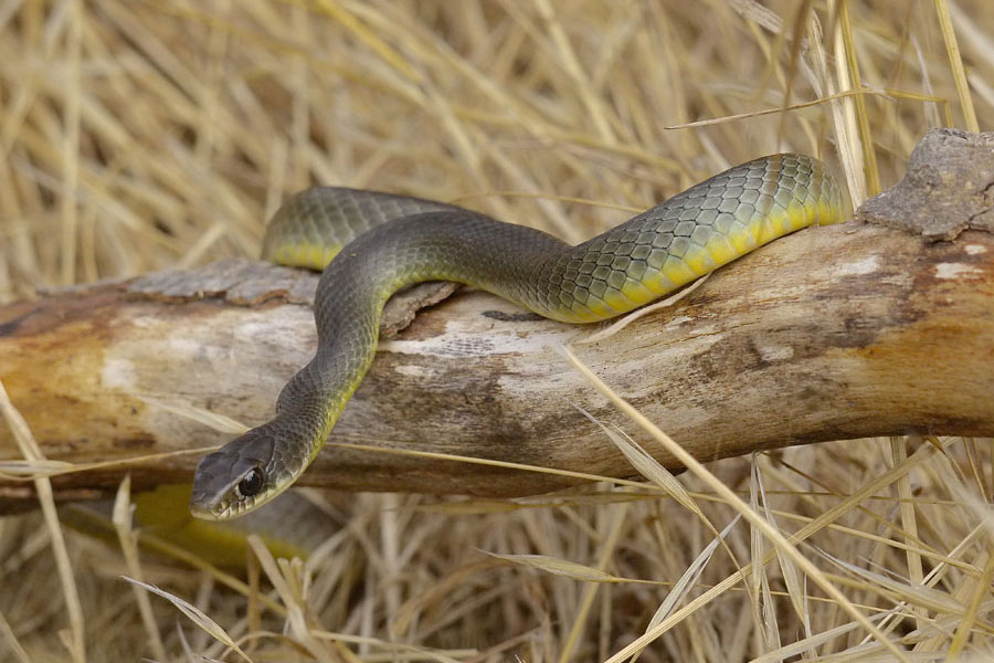 West-Yellow-bellied-racer