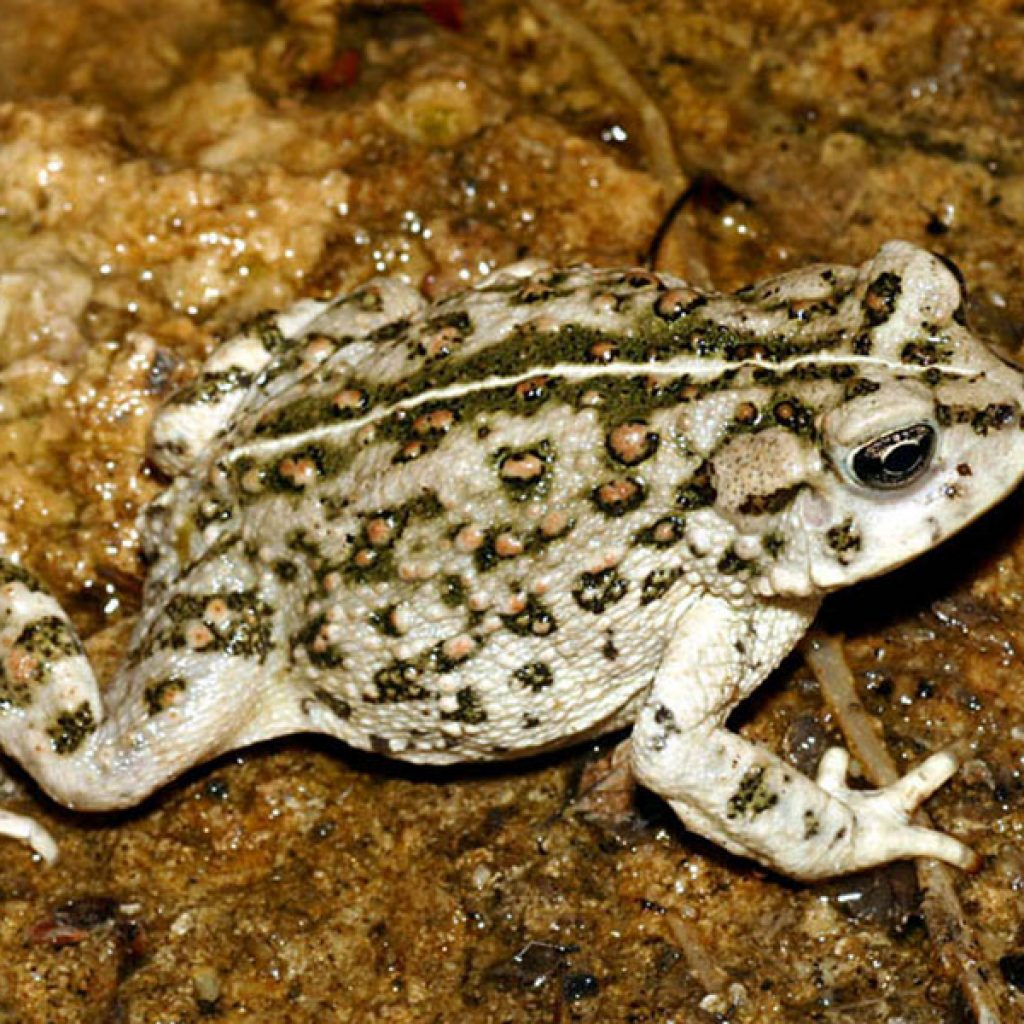 CalPhotos: Browse Amphibian Photos by Common Names Pictures of amphibians with their names