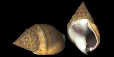 Western mud snail