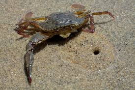 Xan Swim Crab