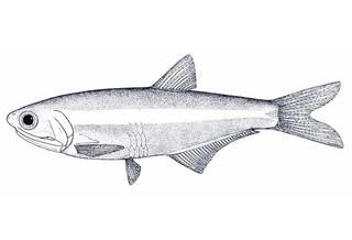 deepbody anchovy