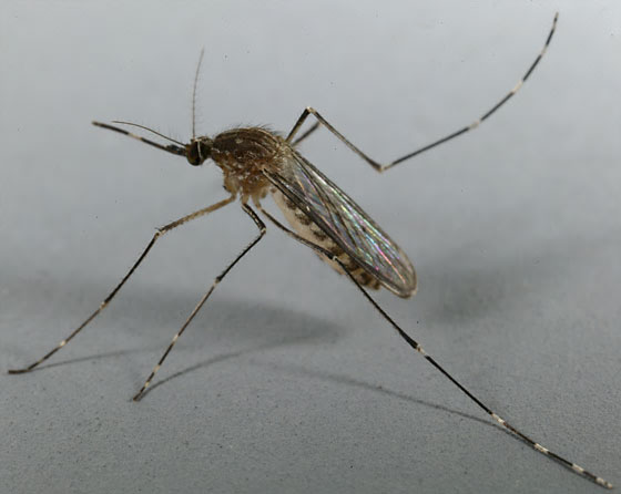 Culex tarsalis, the freshwater mosquito species that can spread West Nile Virus to humans in San Diego County.  Photo by unknown.